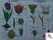 Liliaceae e Compositae