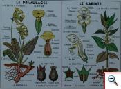 Primulaceae e Labiatae