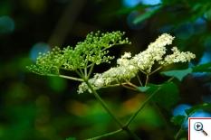 Sambuco Comune dei nostri boschi e delle nostre siepi anche in tutta la pianura (Foto nr.116 - Sambucus nigra L. – Caprifoliaceae)