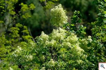 Orniello o Frassinello (Foto nr.119 – Ornus fraxinus L. – Oleaceae)