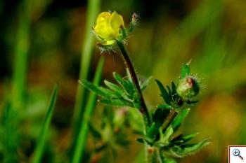 Ranunculus: R. nemororus, R. bulbosus (Foto nr.121)