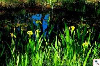 Giaggiolo Acquatico (Foto nr.128   – Iris pseudoacorus – Iridaceae)