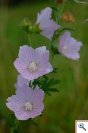 Malva Alcea (Foto nr.133  – Malva alcea L. – Malvaceae)
