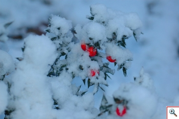 Pungitopo avvolto in questo cotone bianco, freddo e ciuffoloso  (Foto nr. 16 – Ruscus aculeatus L. – Liliaceae)