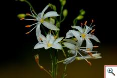 Lilio Asfodelo (foto nr. 187 – Anthericum ramosum L.)