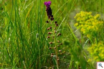 Lampascione (Foto nr.193     Leopoldia comosa (L.) Parl)
