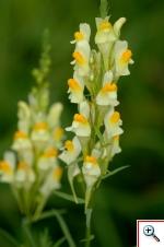 Linaria (Foto nr.216 - Linaria vulgaris Miller)
