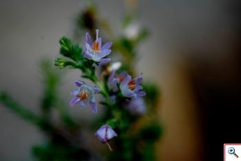 Brugo o Erica dei Colli (Foto nr.252  – Calluna vulgaris (L.) Hull)