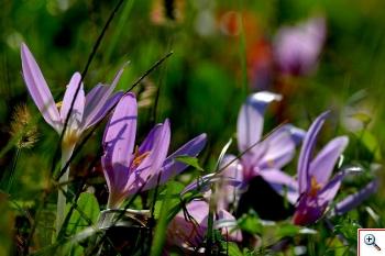 Liliacea, cioè un Giglio ( Foto nr.255 - Colchicum autumnale L.)