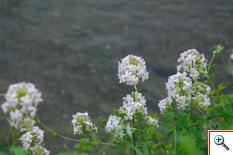 Saponaria comune (Foto nr.276 – Saponaria officinalis L. – Caryophyillaceae)