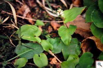 Gramigna di Parnaso (Foto nr.280 – Majanthemum bifolium (L.) Schmidt)
