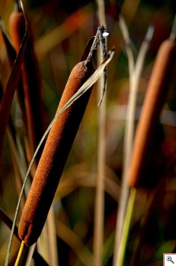 """Lisca maggiore"" (Foto nr.3 – Typha latifolia L. – Typhaceae)"