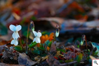 Viola bianca (Foto nr. 35 - Viola alba Besser)