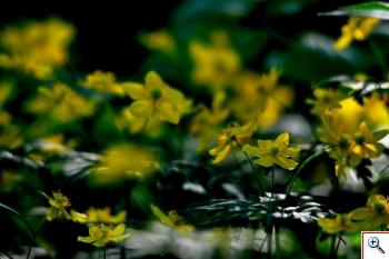Anemone Gialla (Foto nr.41 – Anemone ranuncoloides L.)