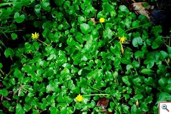 Ranunculus: R. ficaria (Favagello foto nr.55)