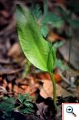 Ofioglosso comune (Foto nr.58-1 Ophioglossum vulgatum MI. - Ophioglossaceae)