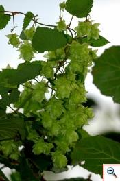 "Luppolo (""bruscandoi"" in veneto) - (Foto nr.64 – Humulus lupulus L. – Cannabaceae)"