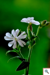 Silene bianca (Foto nr.65-1 – Silene alba (Miller) Krause – Caryophyllaceae)