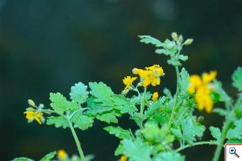 l'Erba Porraia o Celidonia (Foto nr. 78 – Chelidolium majus L. – Papaveraceae)