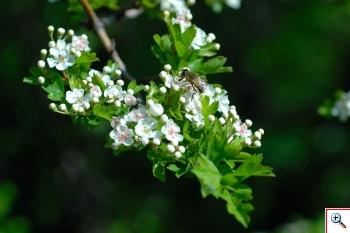 Biancospino (Foto nr.83 – Crathaegus oxyacanta var. monogyna L.)