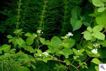 Rovi (Foto nr. 84 – Rubus sp.)