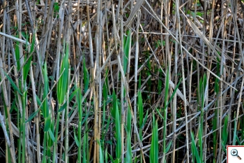 Cannuccia di Palude (Foto nr. 89 - Phragmites australis (Cav.) Adanson)